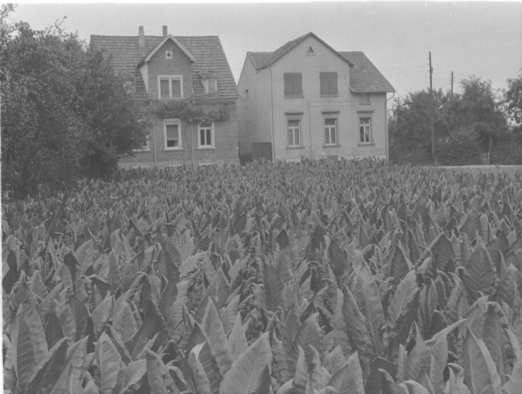 Tabakfeld. Foto: Bildagentur Landesarchiv